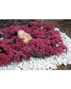 Sedum sunsparkler® 'Dazzleberry' / Orpin hybride bleu à fleur rose