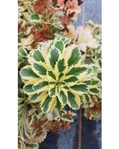 Sedum takesimense 'Atlantis'® / Orpin panaché à fleur jaune