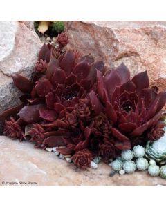 Sempervivum chick charms ® 'Chocolate kiss' / Joubarbe à rosette couleur chocolat