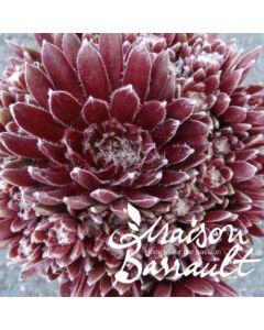 Sempervivum chick charms ® 'Cosmic candy' / Joubarbe à rosette rouge foncé coeur duveteux