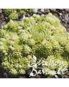 Sempervivum x allionii / Joubarbe à rosette vert jaunâtre