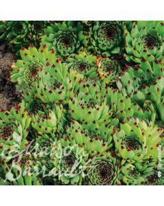 Sempervivum x calcareum / Joubarbe