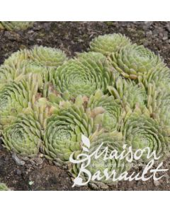 Sempervivum x liparii / Joubarbe