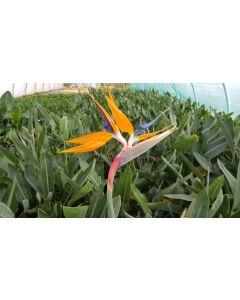 Strelitzia reginae en boutons/fleurs / Oiseau du Paradis en boutons/fleurs