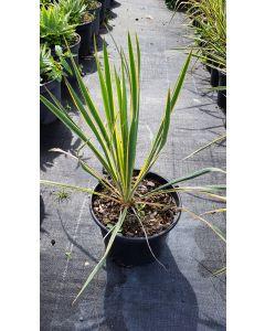 Yucca filamentosa 'Bright Edge' / Yucca filamenteux Panaché