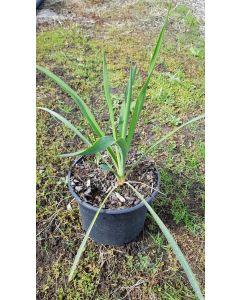 Yucca filamentosa / Yucca filamenteux