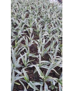 Yucca gloriosa 'Variegata' / Dague espagnol panaché